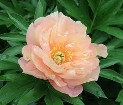 yellow peonies pleasantly fragrant itoh peony singing in the features