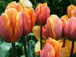 11 spring blooming bulbs hgtv