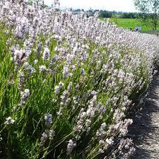 Most Fragrant Lavender Plant White Lavender Plants Lavandula Angustifolia U0027arctic Snow U0027
