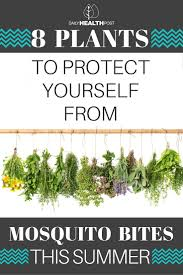 plants that keep mosquitoes away repel mosquitoes naturally with these 8 plants