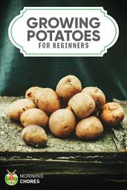 Container Gardening Potatoes - growing potatoes a beginner u0027s guide to planting big u0026 healthy