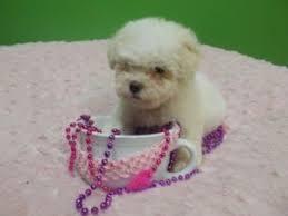 bichon frise dog pictures bichon frise breed information u0026 pictures tenerife dog bichon