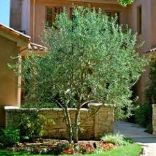 olive tree enjoys and warm spot on patio crafty home