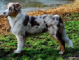 8 week old australian shepherd weight happy spark australian shepherds sparkle