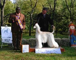 afghan hound club of st louis wynsyr afghan hounds u0026 salukis current afghans