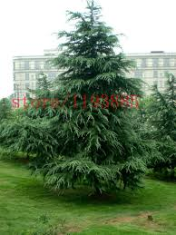 compare prices on small evergreens online shopping buy low price