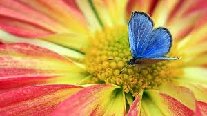 butterfly on flower drawing hd wallpapers images of flowers