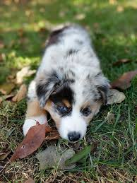 twin oaks 2 australian shepherd 76 best australian shepherd images on pinterest australian