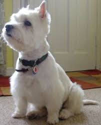 images of westie hair cuts image result for westie hair cuts grooming pinterest