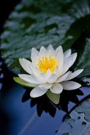 Lotus Flower In Muddy Water - silence water reflections water lilies and water