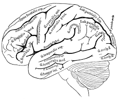 brain anatomy coloring pages learn language me