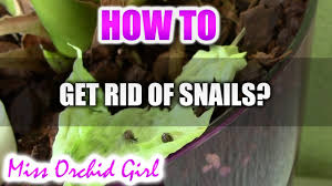 how to get rid of snails in orchid pots youtube
