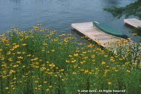 native plant sale muskoka conservancy yellow gold janet davis explores colour