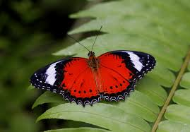 do butterflies a brain australian butterfly sanctuary