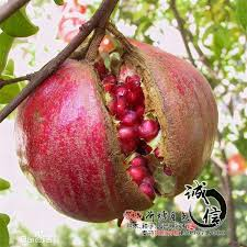 2017 wholesale grafted fruit tree seedlings planted pomegranate