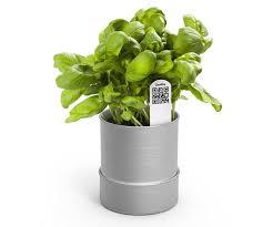 basilico in vaso malattie piantare basilico ortaggi consigli di coltivazione basilico