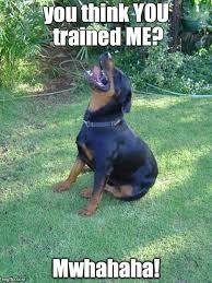 T Dog Meme - 1060 best rottweiler images on pinterest animales animals dog and