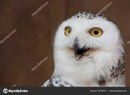 White Owl Meme - white owl with meme face stock photo catinsyrup 145438739