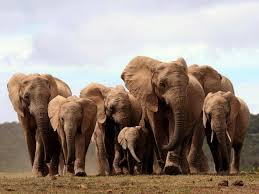 african elephants born tusks due poaching