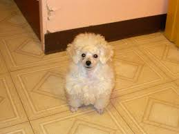 different toy poodle cuts toy poodle cuts photo happy dog heaven