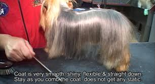 yorkie haircuts for a silky coat professional dog grooming shoo and conditioner dog shoo