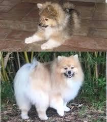 american eskimo dog vs pomeranian petpom throwback poms and big pomeranians
