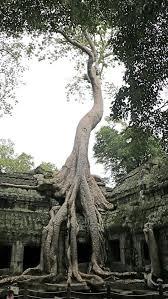 tree at ta prohm ancient angkor wat temple cambodia