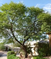 willow acacia drought tolerant trees san diego