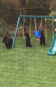cubs invade garden to play on swings in connecticut daily