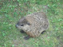 Connecticut wild animals images Woodchuck removal groundhog control connecticut ct jpg