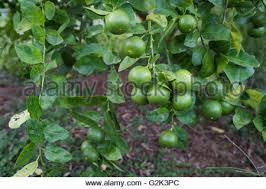 green lemon lemon tree limes lime tree stock photo royalty