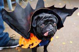 in costumes animals look their beastly best in spooky costumes from