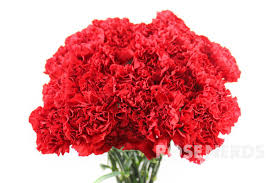 Wholesale Carnations Wholesale Red Carnations Bulk Red Carnations Wedding Red