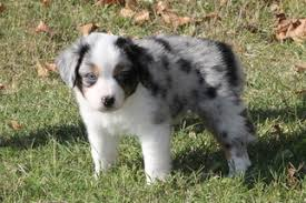 south dakota australian shepherd view ad miniature australian shepherd puppy for sale texas