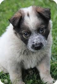 australian shepherd breeders california mozart mo adopted puppy yuba city ca australian shepherd