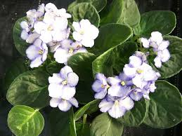 african violet grow light african violets how to grow and care for your african violet plants