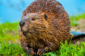 11 fascinating facts about beavers mental floss