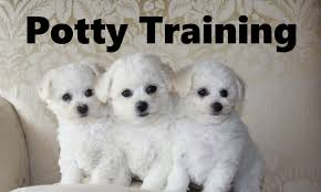 bichon frise 17 years old how to potty train a bichon frise puppy bichon frise house