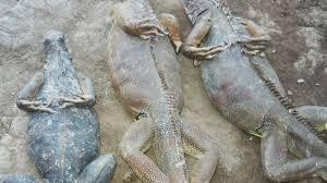 imágenes de iguanas verdes descubren sitio donde vendían especies en peligro de extinción en