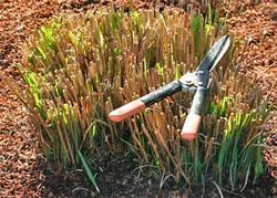 pruning ornamental grasses uc master gardener program of sonoma