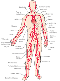 Anatomy Of The Heart And Its Functions The Cardiovascular System Structure And Function Nursing Part 2