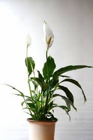 peace lily care u2013 how to grow spathiphyllum peace lily peace
