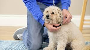 calming collar comfort zone calming dog collar youtube