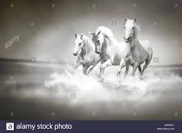 herd horses running through water image can be used for