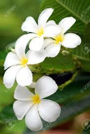 plumeria flower white plumeria flowers stock photo picture and royalty free image