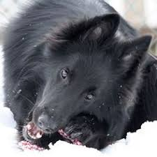 belgian sheepdog california summer she is a year old here will be 6 this year
