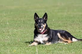 australian shepherd x german shepherd mixed dog breeds shop for your cause