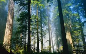 California forest images Daily wallpaper redwood forest i like to waste my time jpg