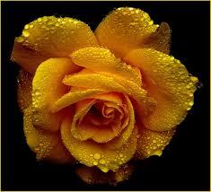 rose images pexels free stock photos