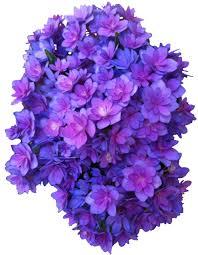 Purple Hydrangea Flower Purple Png Multi Transparent Hydrangea Transparent Flowers U2022